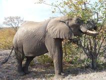 Africana do Loxodonta do elefante africano Fotografia de Stock