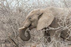 Africana do Loxodonta do elefante africano que come ramos de árvore Imagens de Stock Royalty Free