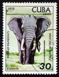 Africana do Loxodonta, série africana da fauna, cerca de 1978 Imagens de Stock