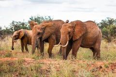 Africana för Loxodonta för tre afrikansk buskeelefanter som går på sa royaltyfri foto