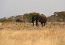 Africana loxodonta африканских слонов в национальном парке Etosha стоковые фото