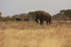 Africana loxodonta африканских слонов в национальном парке Etosha стоковое изображение