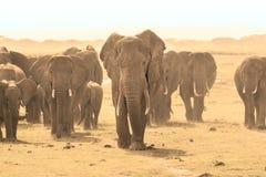Africana Loxodonta, африканский слон куста Стоковая Фотография RF