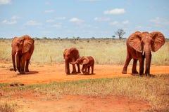 Africana Loxodonta слонов куста семьи из четырех человек африканское, бухта стоковое изображение