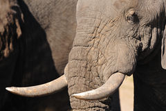 africanaelefanter vänder loxodontaen mot Arkivfoto