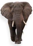 africanaloxodonta Arkivbilder