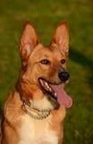 Africanis dog portrait royalty free stock photo