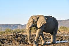 Africano Bull Elelphant Fotos de Stock