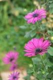 Africano Daisy Flower Fotografía de archivo libre de regalías