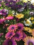 Africano Daisy Flowers in porpora, in bianco, in rosa ed in giallo Immagini Stock Libere da Diritti