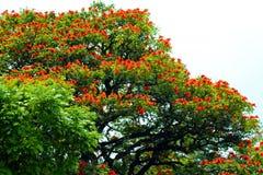 Africano de florescência vermelho Tulip Tree fotografia de stock royalty free