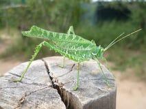 Africano del sud Katydid Immagini Stock
