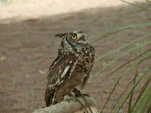 Africano Eagle Owl Fotografia de Stock Royalty Free