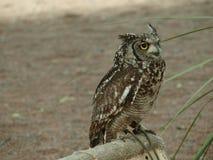 Africano Eagle Owl Imagens de Stock