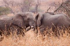 Africano Giants Fotografie Stock