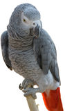 Africano Gray Parrot Fotografie Stock