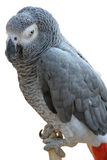 Africano Gray Parrot Immagine Stock