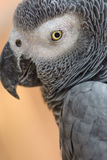 Africano Gray Parrot Immagini Stock Libere da Diritti