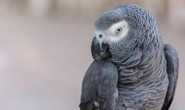 Africano Gray Parrot Fotografia Stock
