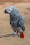 Africano Gray Parrot Fotografia Stock Libera da Diritti