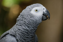 Africano Gray Parrot Portrait imagen de archivo libre de regalías