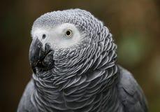 Africano Gray Parrot Portrait fotos de archivo libres de regalías