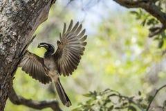 Africano Grey Hornbill en el parque nacional de Kruger, Suráfrica Imagenes de archivo