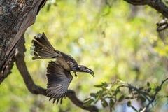 Africano Grey Hornbill en el parque nacional de Kruger, Suráfrica Fotos de archivo libres de regalías