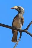 Africano Grey Hornbill, nasutus de Tockus, retrato do pássaro cinzento e preto com conta amarela grande, sentando-se no céu azul  Fotos de Stock