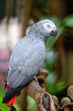 Africano Grey Parrot Foto de archivo