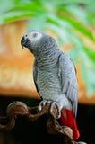 Africano Grey Parrot Fotos de archivo libres de regalías