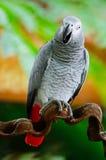 Africano Grey Parrot Foto de archivo libre de regalías