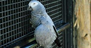 Africano Grey Parrot Climbing uma cerca vídeos de arquivo