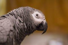 Africano Grey Parrot Portrait Fotos de archivo