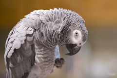 Africano Grey Parrot Portrait Imagen de archivo libre de regalías