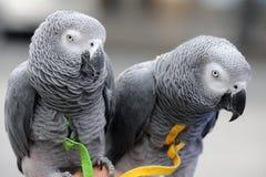 Africano Grey Parrots Imágenes de archivo libres de regalías
