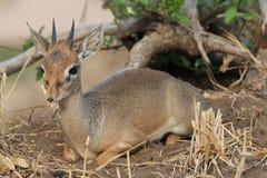 Africano Hartebeest Fotografie Stock