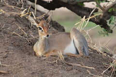 Africano Hartebeest Fotografia Stock