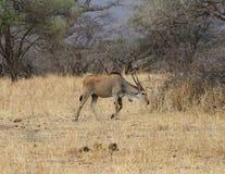 Africano Hartebeest Fotografie Stock Libere da Diritti