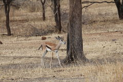 Africano Hartebeest Immagini Stock Libere da Diritti