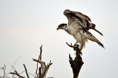 Africano Hawk Eagle (spilogaster de Aquila) Foto de Stock Royalty Free