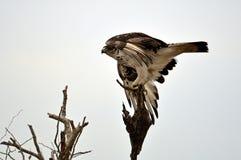 Africano Hawk Eagle (spilogaster de Aquila) Fotografia de Stock