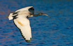 Africano Ibis sacro Fotografie Stock Libere da Diritti