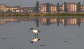 Africano Ibis sacro fotografia stock libera da diritti