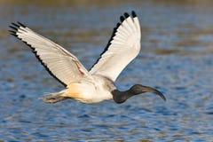 Africano Ibis sagrado Fotografía de archivo libre de regalías