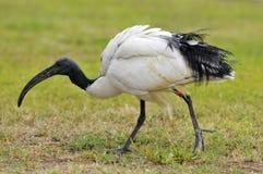Africano ibis sagrado en hierba foto de archivo libre de regalías