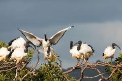 Africano Ibis sagrado - Threskiornis Aethiopicus imagen de archivo libre de regalías