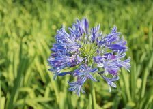Africano Lily Agapanthus Africanus Flower Head Foto de Stock