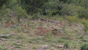 Africano Lion Cubs Resting And Playing en la hierba cerca de los arbustos en sabana almacen de metraje de vídeo