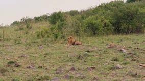 Africano Lion Lying And Resting In los arbustos en la sabana africana metrajes